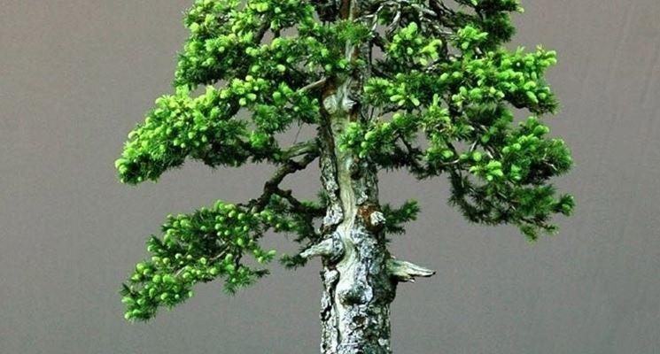 stile bonsai