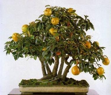 bonsai frutti gialli