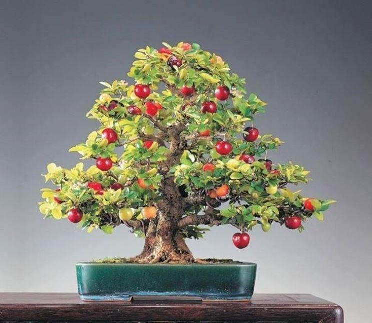 bonsai da frutti rossi