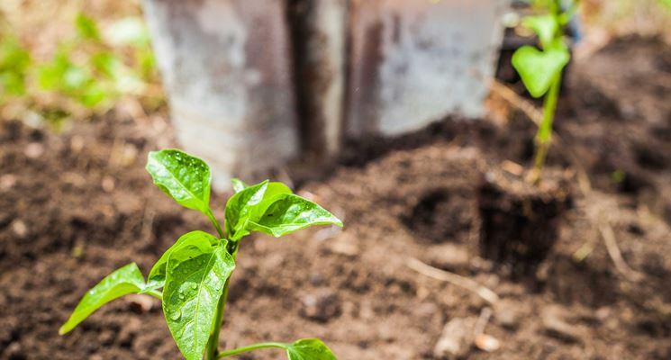 Alberi a crescita rapida gli alberi come coltivare for Alberi simili alle querce