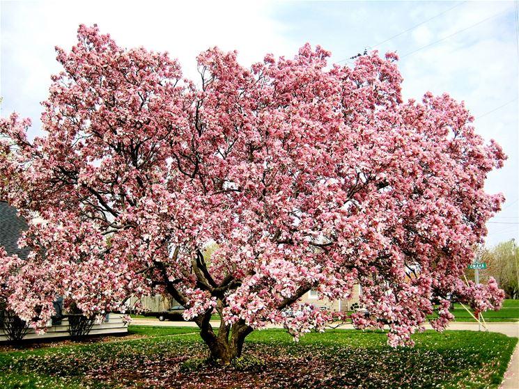 Delle magnolie coltivate lungo un viale, in campagna.