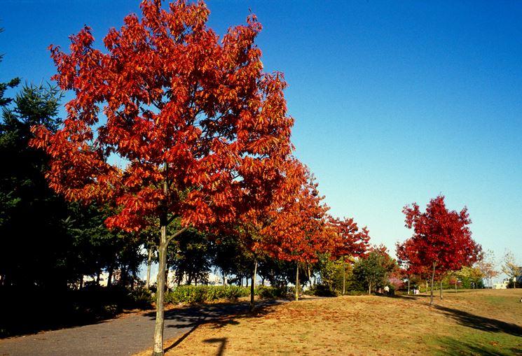 Una quercia rossa americana.