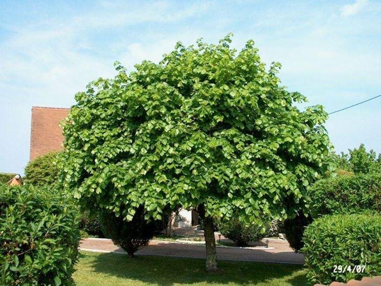 Piante a crescita rapida piante a crescita rapida black for Alberi a crescita veloce