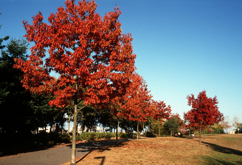 2 semi di quercus rubra americana quercia rossa americana - Alberi a crescita rapida sempreverdi ...