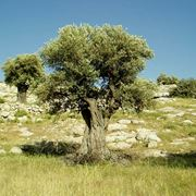 alberi italiani