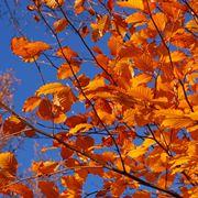foglie caduche
