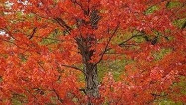 alberi con foglie rosse
