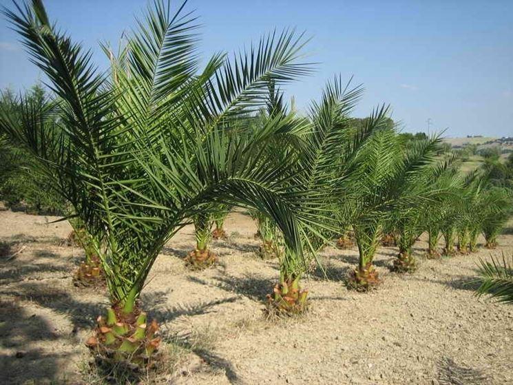 Come coltivare alberi esotici gli alberi ecco come for Alberi ornamentali per giardino