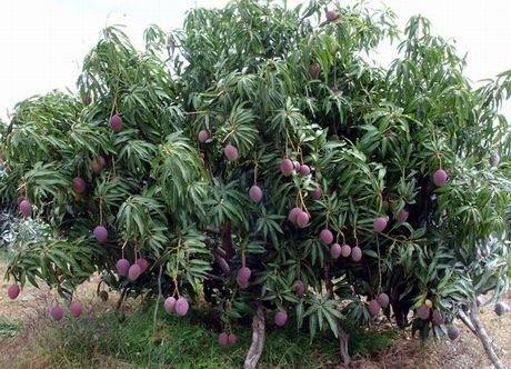 Come coltivare alberi esotici gli alberi ecco come for Glicine bonsai prezzo