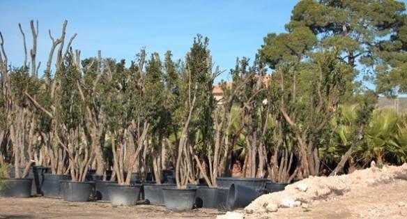 Come coltivare alberi mediterranei gli alberi come for Gli alberi sempreverdi