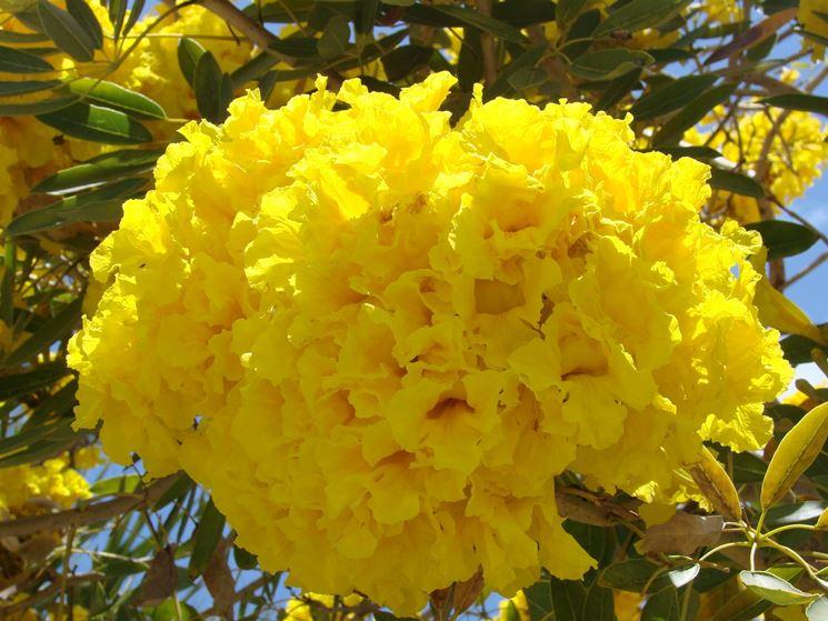 Come coltivare alberi ornamentali gli alberi come for Glicine bonsai prezzo