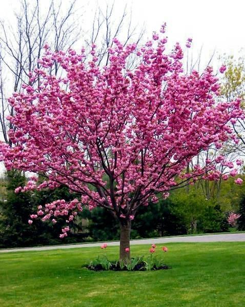 come coltivare alberi ornamentali gli alberi come