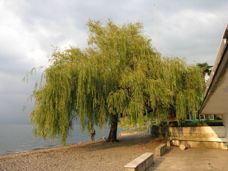 albero di salice piangente