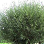 salice albero