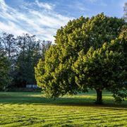 quercia albero