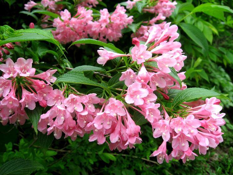I migliori alberi da giardino a crescita rapida gli for Alberi da giardino con fiori