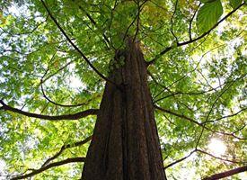 Migliori alberi alto fusto