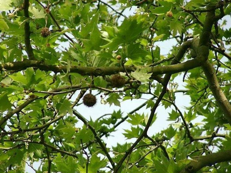 Migliori alberi alto fusto: altre opzioni di alberi ad alto fusto