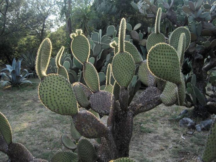 cactus giganti