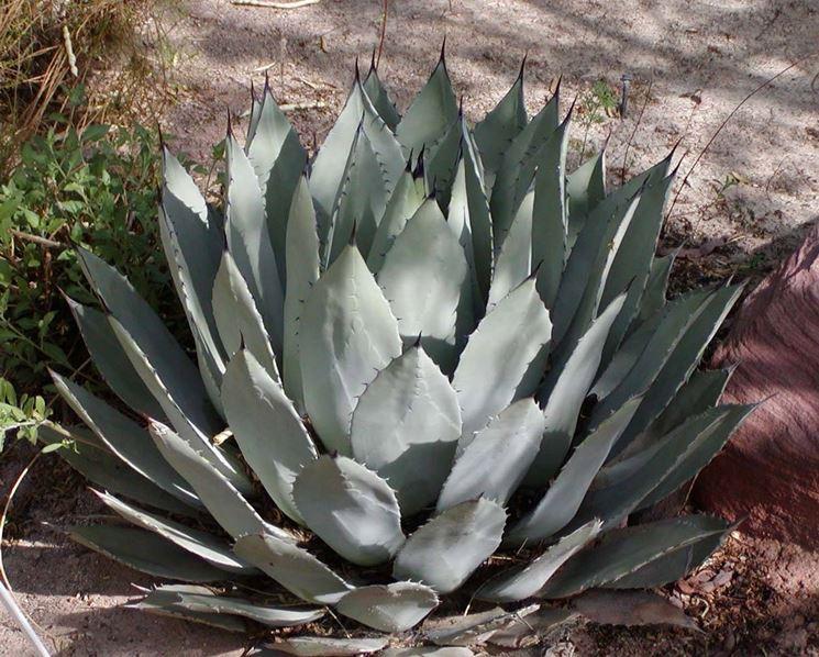 specie di agave
