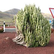 euforbia pianta grassa