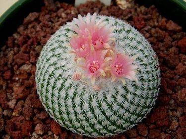 Un cactus può facilmente essere coltivato in casa