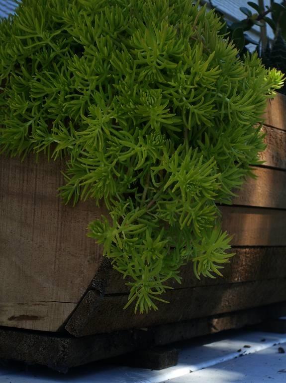 Coltivare piante grasse coltivare piante grasse ricanti le for Piante grasse pendenti