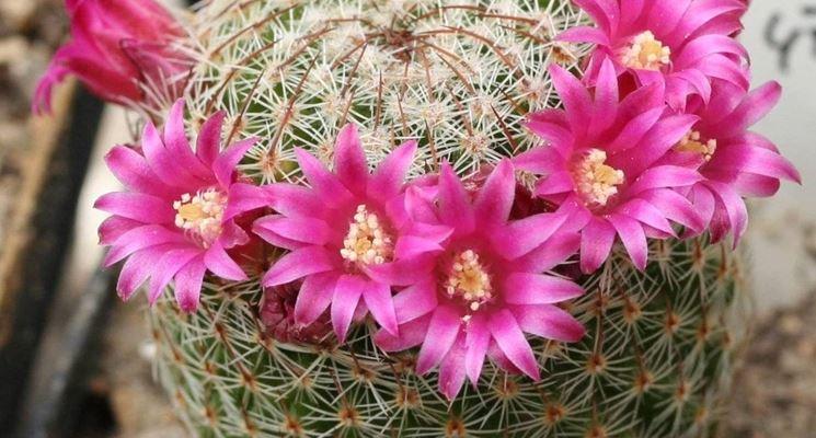 fiori mammillaria