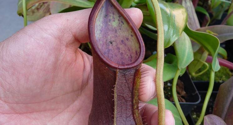 pianta carnivora1