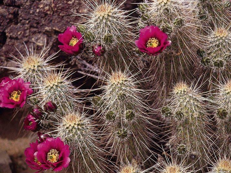 Piante grasse con fiori - Le Piante Grasse - Piante grasse con fiori
