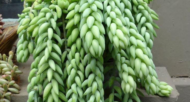Piante grasse pendenti - Le Piante Grasse - Piante grasse pendenti