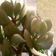piante grasse senza spine