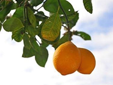 Concime Per Limoni Nel Frutteto Concime Per Limoni