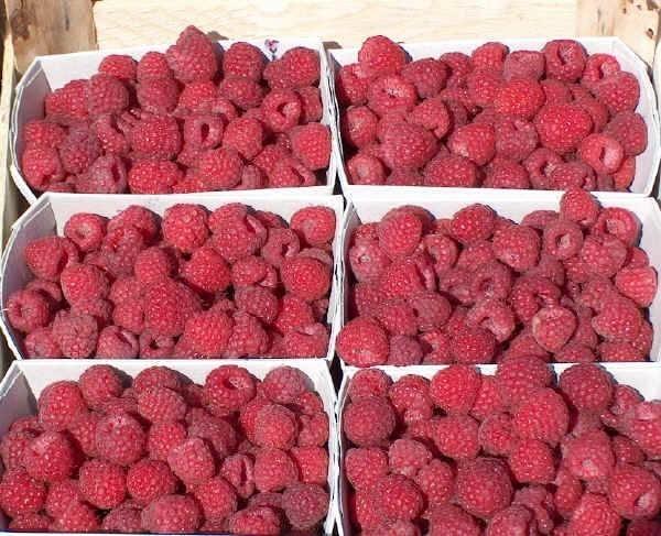 Piante Di Frutti Di Bosco : Frutti di bosco coltivazione nel frutteto come