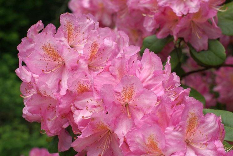 fiori azalea