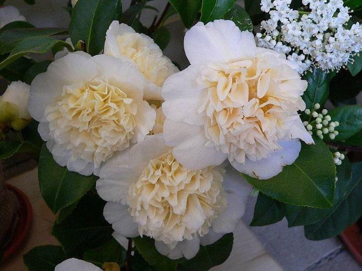 fiore di camelia bianco