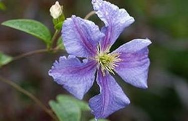 fiore singolo clematide