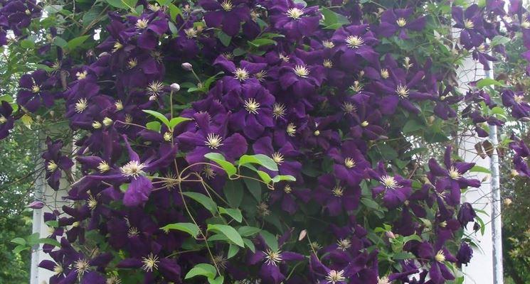 clematide rampicante piante in giardino clematide