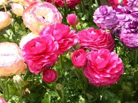 Coltivare fiori da giardino piante in giardino come for Fiori particolari da giardino