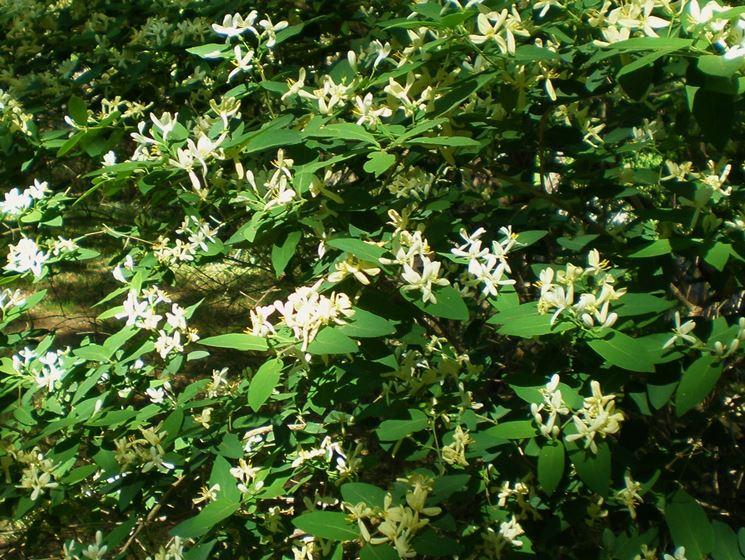 fiori di caprifoglio