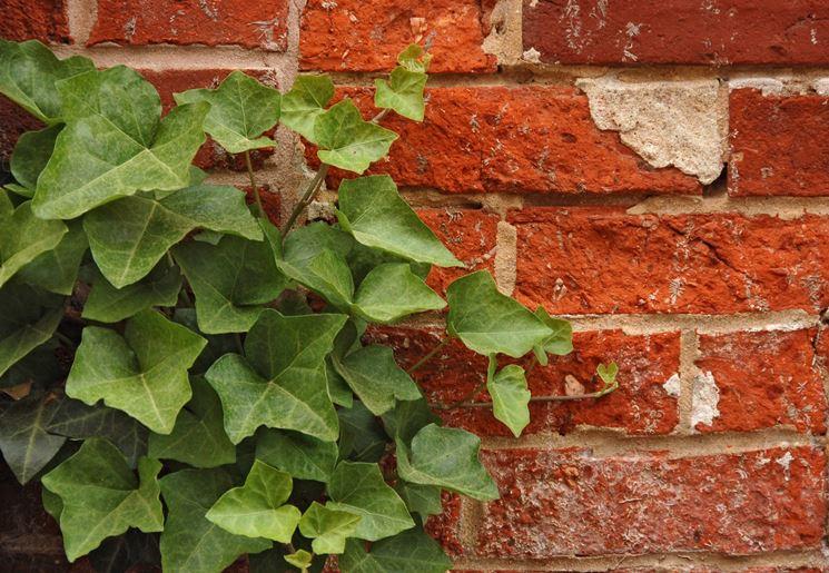 Coltivare l 39 edera piante in giardino consigli su come for Talea edera