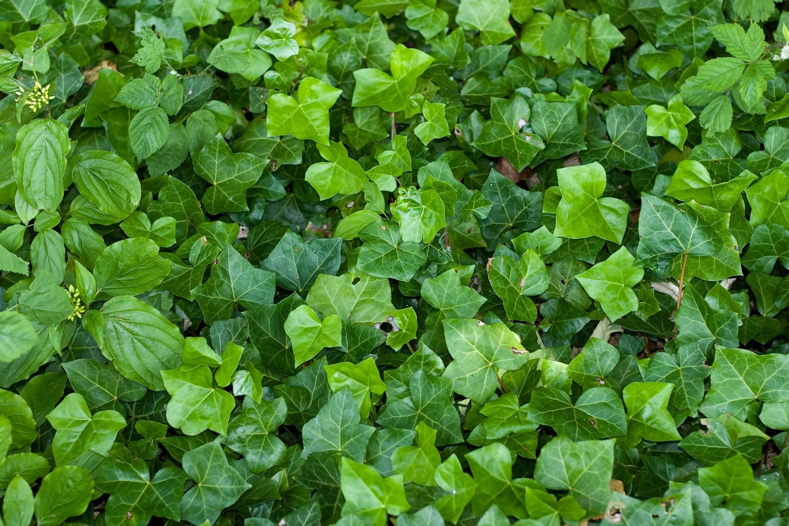 Coltivare l 39 edera piante in giardino consigli su come - Edera da interno ...