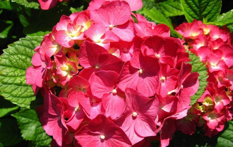 Coltivare un 39 ortensia piante in giardino come for Fiori per balconi soleggiati
