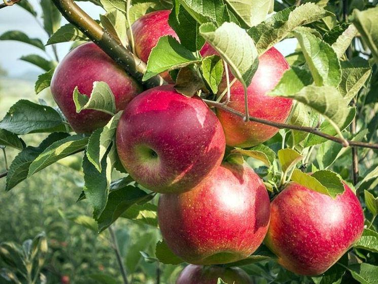 Un ramo di melo carico di frutti