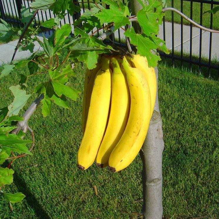 Coltivazione banano piante in giardino coltivare il banano - Pianta banano ...