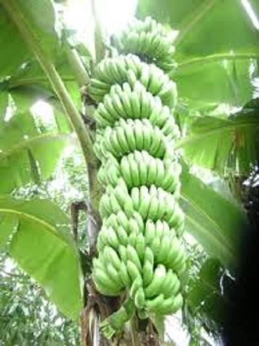 Coltivazione banano piante in giardino coltivare il banano for Bamboo coltivazione