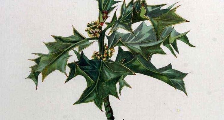 Disegno botanico di ilex aquifolium