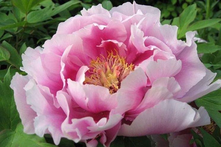 Peonia di colore rosa