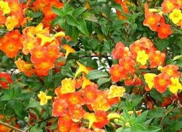 Cespuglio fiorito sempreverde
