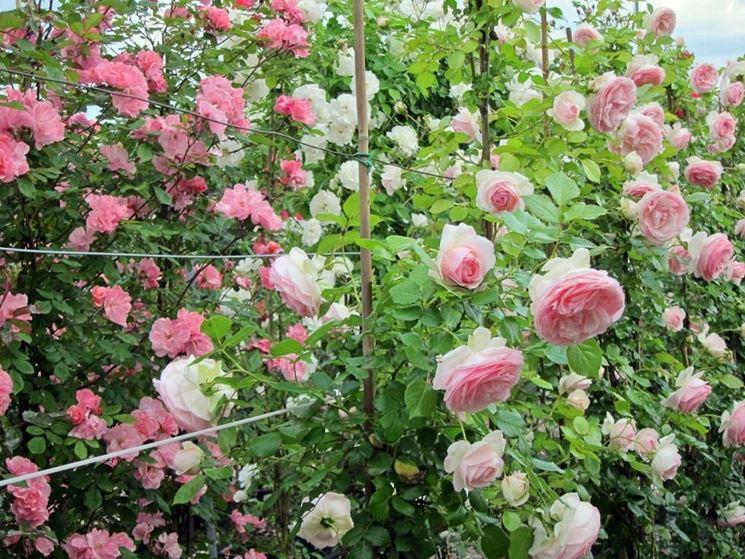 Come coltivare le rose rampicanti piante in giardino - Giardino con rose ...